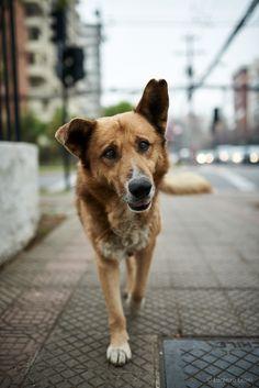 Chilean street dogs - Perros callejeros de Chile