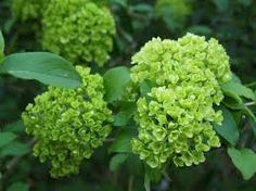 This is also Snowball Viburnum, blossoms picked before they turn all white--I love the green colors with peachy oranges, cream and white.