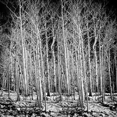 Aspens on snow, Great Basin National Park #nationalpark #landscape #neveda #traveling #landscape_lovers #greatbasin #usinterior #californiacenterfordigitalarts #bobkillenarts #art #artteacher #travel #traveling #nationalpark #tree #nature #trees #snow #mo