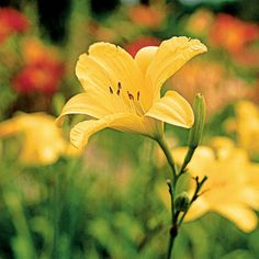 'Siloam Space Age' offers large, bright yellow blooms over an extended season. Bloom season: Midsummer; may rebloom Flower size: 6 inches Plant size: 2 feet tall Zones: 3-9