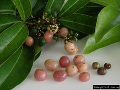 Native to Nth Qld, this relative of the Citrus family produces a small musk flavoured orange coloured fruit. Edible Plants, Edible Garden, Orange Colored Fruit, Fruit Tree Nursery, Honey Candy, Types Of Fruit, Beautiful Fruits, Juicy Fruit, Wild Edibles