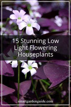 These beautiful flowering houseplants don't need much light to thrive and bloom. Oxalis triangularis, pictured above is so easy to care for and can bloom all year round. Indoor Flowering Plants, Blooming Plants, Oxalis Triangularis, Kitchen Plants, Smart Garden, House Plant Care, Garden Guide, Low Lights, Houseplants