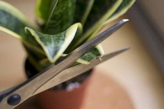 How to Care for Sansevieria Plant (with Pictures) | eHow