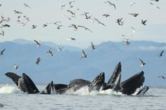 Humpbacks bubble feeding.  Photo by Mike Smith.  Wolfpoint Photography