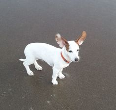 Chiweenie cuteness - Cap'n's first time on the beach in the wind.