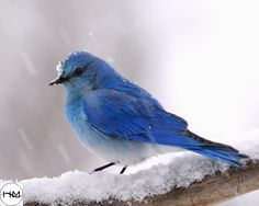 Mountain Bluebird in Snow