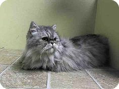 Persian cats for adoption new york