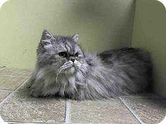 Brooklyn, NY - Persian. Meet LAYLA a Cat for Adoption.