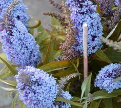 Buddleja davidii Buzz Sky Blue- Compact Buddleia Butterfly Bush Plant in 9cm Pot