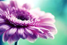 I <3 Gerbera daisies