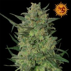 LSD Feminised Seeds by the cannabis breeder Barney's Farm Seeds, is a Photoperiod Feminised marijuana strain.This Mostly Indica strain produces a High Preferred Indoor: 700 g/m2 . yield. These seeds finish in 60-65 days in Early October.This Feminised seed grows well in Greenhouse, Indoors, Outdoors conditions. Additionally it can be expected to grow into a Short, Medium plant reaching 90 - 100 cm (indoor).This strain has Skunk #1 x Mazar Genetics. It has a Very High (over 20%) THC Content…