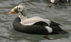 Spectacled Eider - (Somateria fischeri) Large sea duck that breeds on the coasts of Alaska and northeastern Siberia.
