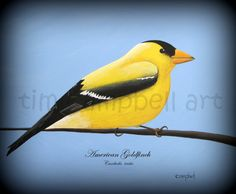 American Goldfinch by Tim Campbell by TimCampbellArt on Etsy, $55.00