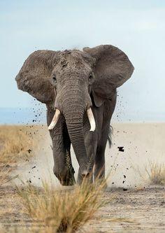 African Bull Elephant ~ Tanzania/Kenya ~ Photo Credit ~ Randy Hanna