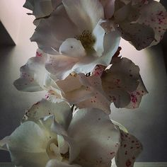 Nick Knight: Roses from my garden. Having a lovely day with my friend Matt. Sunday 1st June 2014.