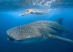 Swimming with Whale Sharks, Mafia Island, Tanzania