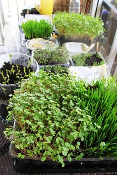 Little Garden, Microgreens: Part I (and II) ---- children growing microgreens. Love this idea! Little Gardens, Small Gardens, Outdoor Gardens, Raised Gardens, Modern Gardens, Mini Gardens, Design Jardin, Garden Design, Landscape Design