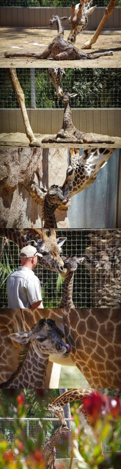 Harriet the giraffe gave birth to a healthy baby boy! Thanks to Brant Rustich who was there to document the moments after birth.