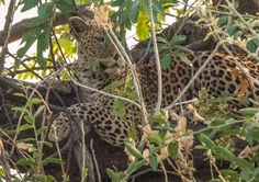 African Leopard after his night trip in the early morning ,take a rest in the tree.