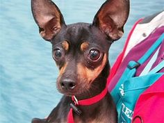 Tracy is an adoptable Dog - Miniature Pinscher & Chihuahua Mix searching for a forever family near Portland, OR. Use Petfinder to find adoptable pets in your area.