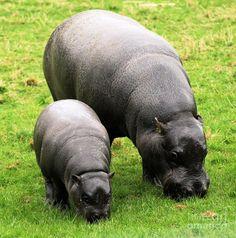 ♥ hippopotamus - Google Search