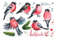 set of birds, bullfinches, spruce branches, paint splashes, watercolor illustration Bird Painting Acrylic, Flow Painting, Watercolor Bird, Bird Illustration, Floral Illustrations, Watercolor Illustration, Bird Pictures, Pictures To Paint, Bird Drawings