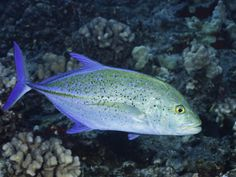 "Bluefin Trevally, Caranx melampygus, (saw snorkeling off Kahekili beach), about 18"" long"