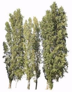 3499 x 4478 Pixels. PNG, with transparent background. Cutout photo of black poplar tree group. Populus nigra Fr: Peuplier; Pt: Choupo negro; Es: Álamo negro.