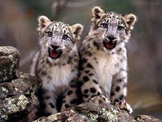 leopardo-das-neves - Pesquisa Google