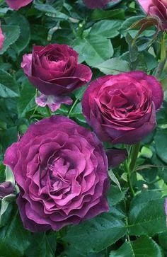 BLUE EDEN Rose de la roseraie Reuter haut 110 120 cm, remontant. En fin d'hiver, tailler à 15-20 cm du sol. Associer avec un penstemon Apple Blossom et à ses côtés des gauras ou des delphiniums