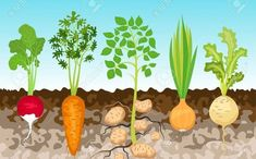 Root Vegetables, Growing Vegetables, Vegetables Garden, Kreative Jobs, Vegetable Crafts, Vegetable Gardening, Vegetable Drawing, Garden Mural, Garden Frame