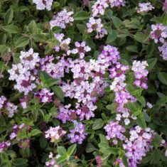 Profusion of both pure white and solid purple flowers cover this widely spreading groundcover year round! Good bank cover erosion control. Effective cascading over raised beds hanging baskets and containers. Moderate grower to 8 to 12 in. tall 3 to 6 ft. wide.
