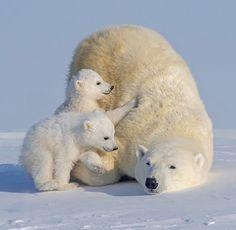Penguins And Polar Bears, Baby Polar Bears, Cute Polar Bear, All Animals Pictures, Animals And Pets, Baby Animals Super Cute, Cute Funny Animals, Majestic Animals, Animals Beautiful