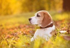 This #Beagle is out hunting game...  Click on this image to find even more beautiful #dogs