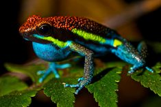 Manu Poison Frog (Ameerega macero)