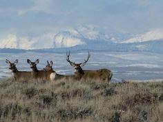 King of the sage: Mule deer, Wyoming