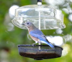 Dried or live, the bluebird will take the mealworms any way you serve them! Johns Creek, Wild Birds, Blue Bird, Bird Feeders, Parrot, Backyard, Live, Store, Outdoor Decor