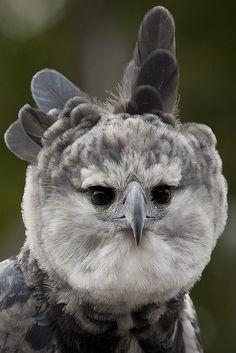 Южноамериканская гарпия, или лесной орел /Harpy eagle