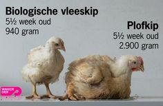 "2 chicks, same age: the one on the left = organic meat-ckick, on the right = cruel-and-common raised chick: to heavy to stand on its own feet. Life span of healthy chickens is several years, the ""plofkip"" (blown up chicken) dies after 4 months of a heart attack. Wakker Dier, Dutch pro-animal organization, works to make plof-chickens illegal in Holland"