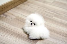 white tea cup pomeranian | White teacup pomeranian