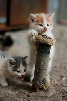 """""""It is impossible to keep a straight face in the presence of one or more kittens."""" --Cynthia Varnado"""