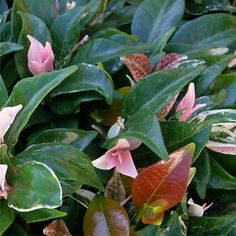 Beautiful 3 coloured foliage plant, a nice chane from all green ground covers and climbers, useful for mass planting. Jasmine, Trachelospermum Jasminoides, Green Ground, Star Wars, Foliage Plants, Plant Leaves, Australia, Color, Beautiful
