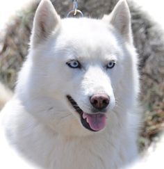 8/19/13-Emma (beautiful girl!) is an adoptable Husky Dog in Redmond, OR. Emma the Skijoring Partner Girl. Hi! My name is Emma and I am around 6 years old and very well mannered. I walked nicely on the leash ...