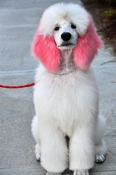 Cute Poodle Puppy – not that I like that dyeing thing in general. :-/ Cute Poodle Puppy – not that I like that dyeing thing in general. :-/ Source by weatherred Pet Dogs, Dogs And Puppies, Dog Cat, Poodle Puppies, Doggies, Maltese Poodle, Poodle Mix, Poodle Grooming, Cat Grooming