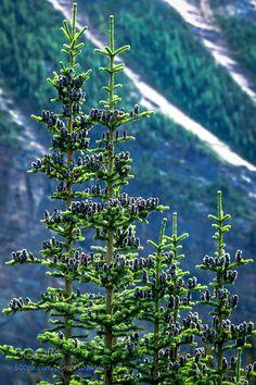 Banff Pine Tree by EdinaSwede