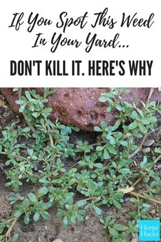 If you ever spot this particular weed in your yard, don't kill it. Here's why.