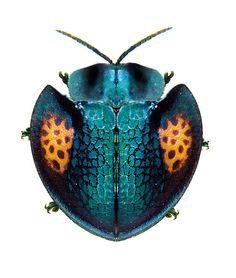 insect ⊰ agenysa caedemadens scarabée  www.beatzbylekz.ca