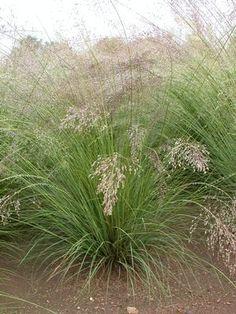 Prairie Dropseed -- Sporobolus heterolepis:  3 plants in upper patio bed, on the east edge.