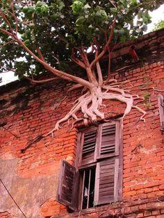 Árbol baniano (Ficus benghalensis), creciendo vertical en la pared de casa de la India / por Piyal Chatterjee