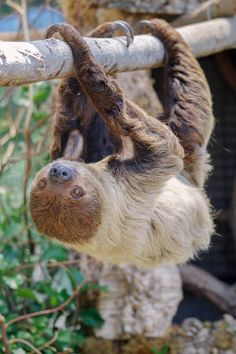 Sloth just hangin' out (pic by Lisa Diaz)